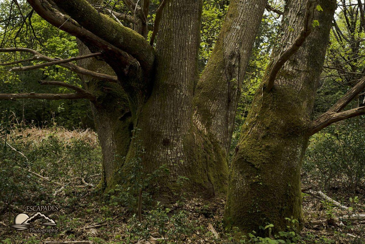Le roi de la forêt à Lanvénégen