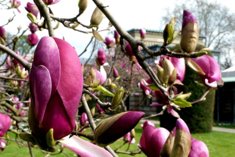Zarte, purpurfarbene Magnolienknospen.