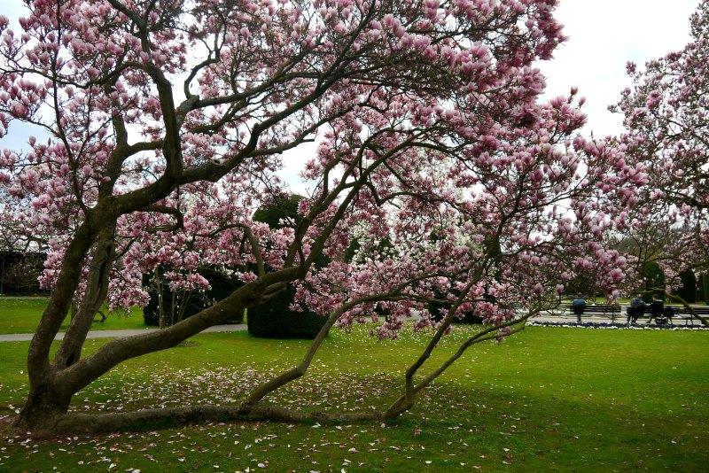 Bis zu 160 Jahre alt sind die Magnolienbäume, die noch von Wilhelm I. angepflanzt wurden.