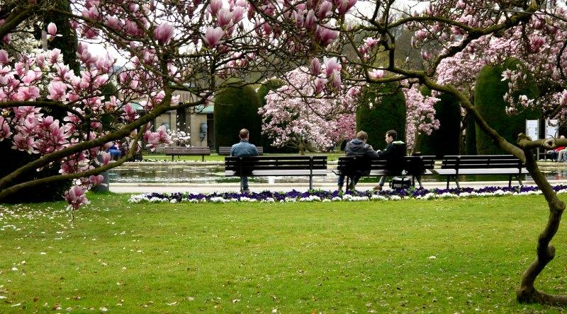 Die Magnolienblüte zieht jedes Jahr viele Besucher an.