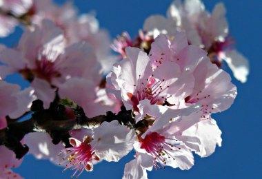 Ausflugsziele im Frühling - Mandelblüte