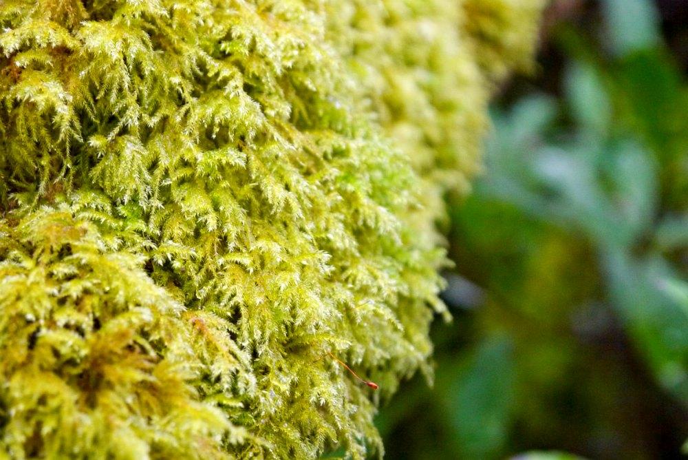 Irisches Moos
