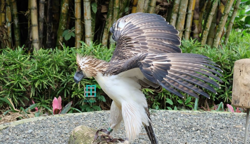 The mighty Philippine Eagle in Davao City