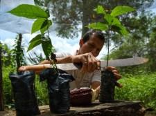 En el vivero se realizan los injertos de las plantas de cacao. Foto: Enrique Avilés
