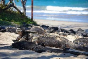iguanas isabela playa
