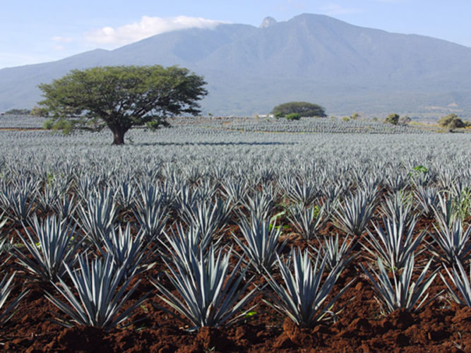 Blue agave crops with large tree in background.