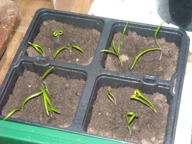Fennel seedlings