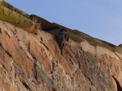 Camouflaged fuzzy sparrow