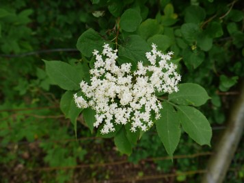 Elderflower walk 005