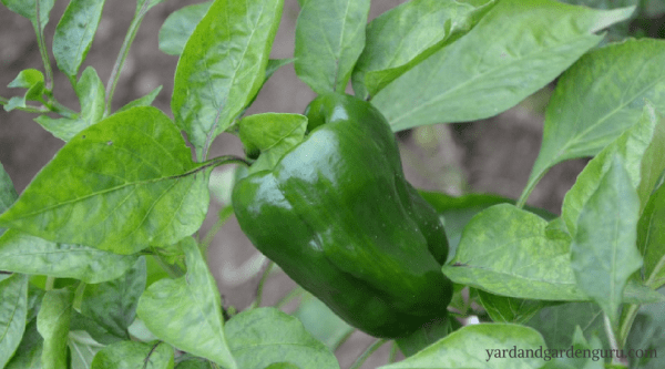 vegetable garden, gardening