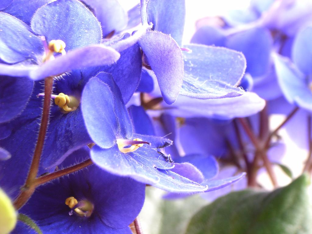 African Violet, winter blooming houseplants