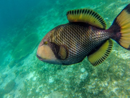 Evil trigger fish which just had attacked Chris.