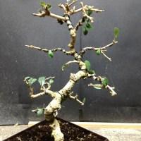 Fukien Tea #1 (carmona microphylla)