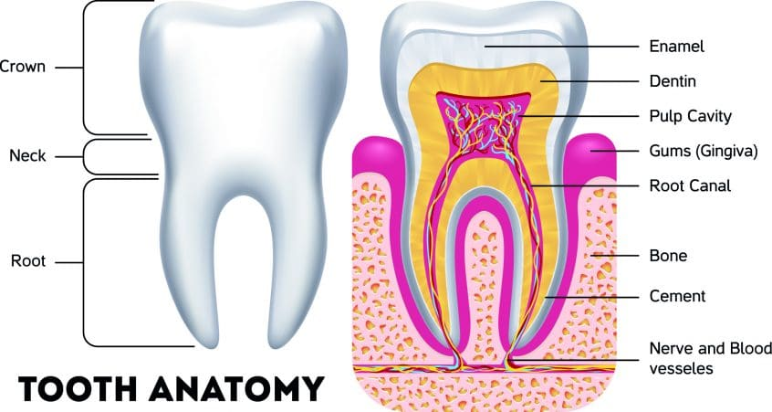 What Is Teeth Anatomy Definition Functions Structure Check Here