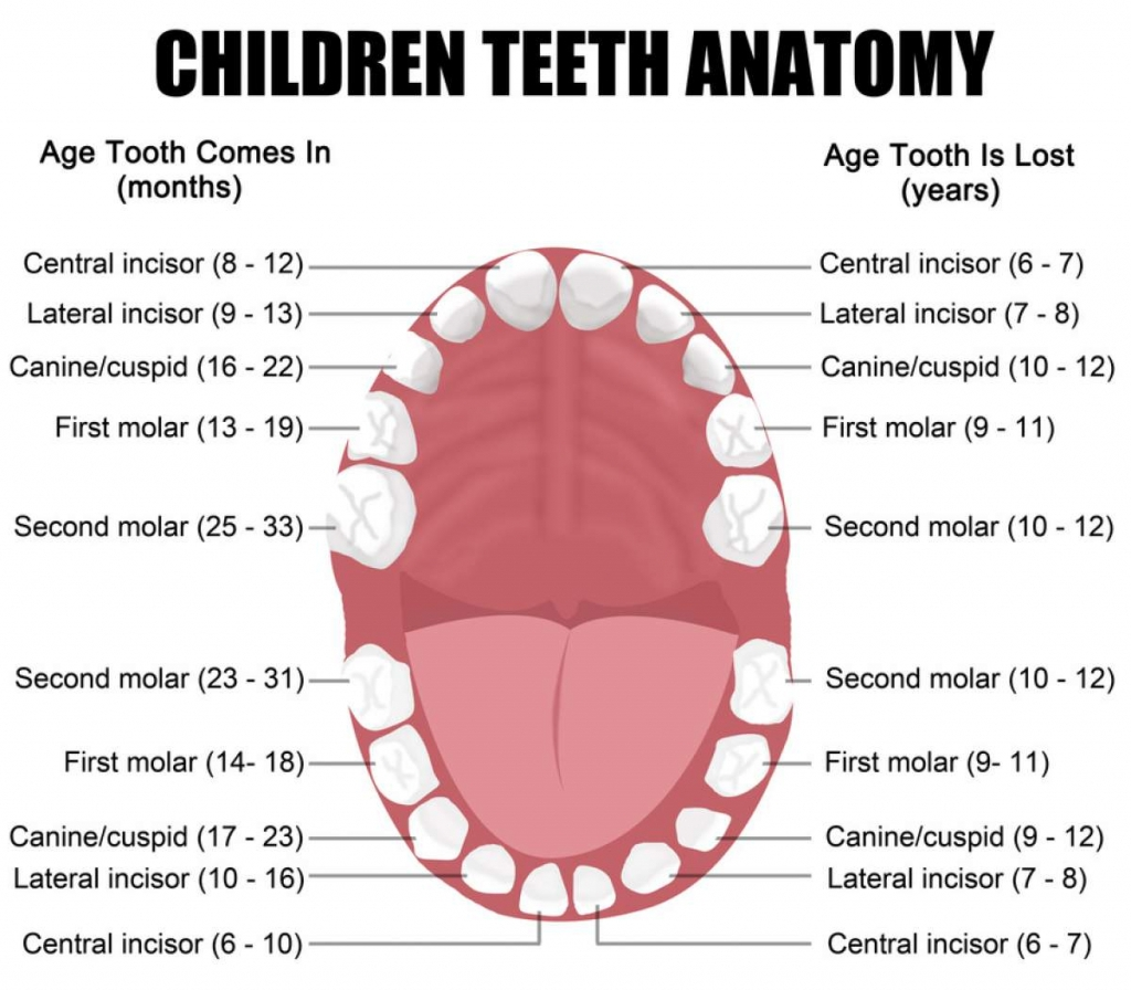 hight resolution of functions and names of the teeth eschool human mouth diagram teeth diagram names