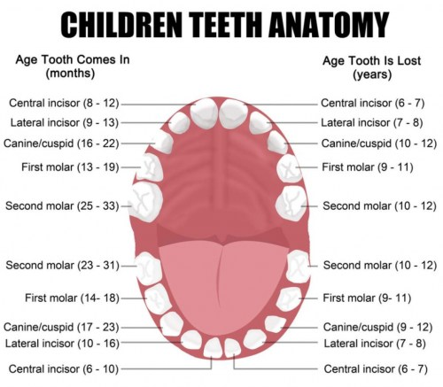 small resolution of functions and names of the teeth eschool human mouth diagram teeth diagram names
