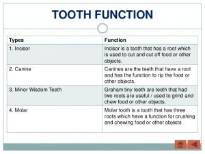 Functions of the tooth