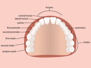 What are the numbers of teeth do we have and when they come out