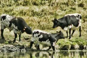 Vache bordelaise