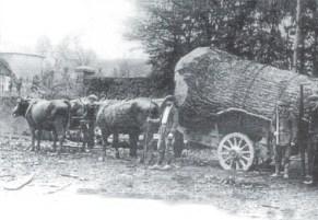 Le transport de bois avec des bœufs (vers 1900)