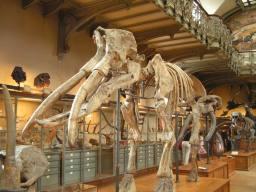 Archaeobelodon filholi - Musée d'Histoire Naturelle de Paris