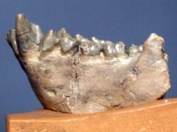 Dents du singe des chênes (Dryopithecus fontani) découverte par Edouard Lartet