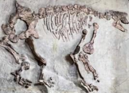 Macrotherium sansaniense découvert à Sansan par Edouard Lartet - Muséum d'histoire naturelle