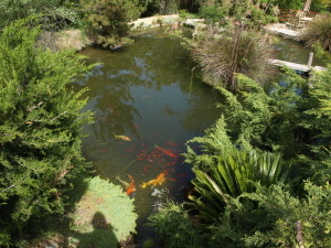 Koi in 2003; they were eaten by predators later.