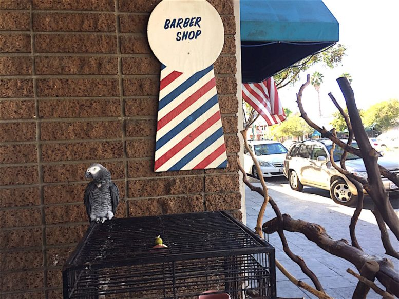 Blackjack, Granger's pet parrot, stood guard outside the barber shop Tuesday, but declined comment on the election.