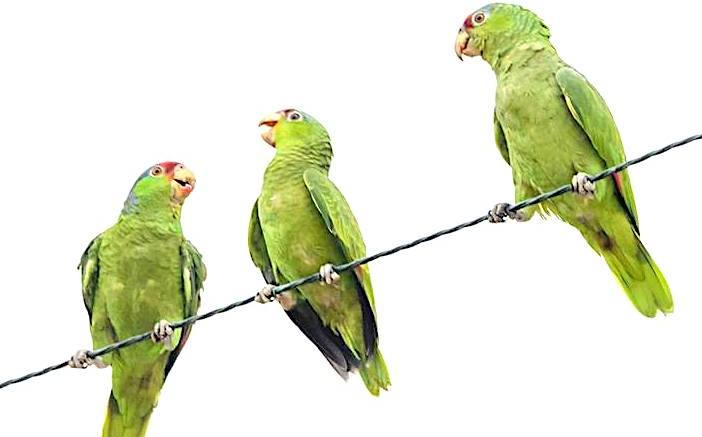 Tracking the wild parrots of San Diego County | Escondido Grapevine