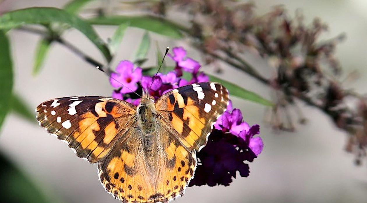 Painted lady butterflies swarm North County | Escondido
