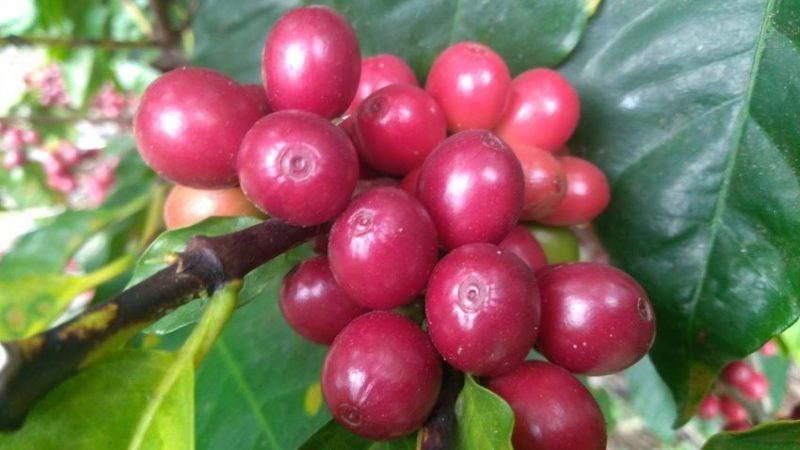 PARAN CORTE DE CAFÉ EN ZONA DE HUATUSCO