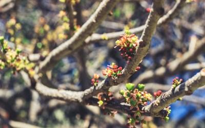 """The """"jocote"""" is flowering again."""