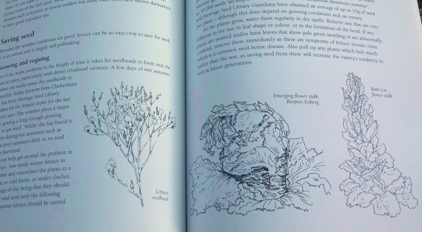Susanna Kendall's line drawings of lettuce seed heads and flower stalks in Back Garden Seed Saving