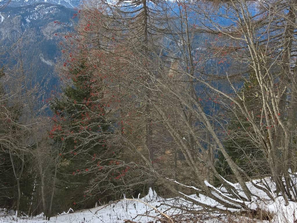 Albero Con Bacche Rosse albero a bacche rosse - escursioni nelle dolomiti