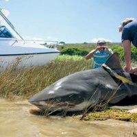 Increíble! Un gigantesco tiburón en el río. Con fotos.
