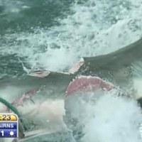 """Tiburón blanco literalmente partido a la mitad por otro """"monstruo"""" desconocido. Foto y vídeo."""
