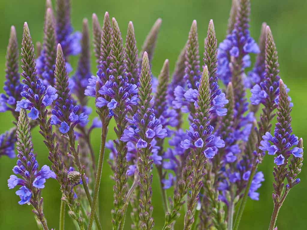 Luz Pura Floral Verbena- Ecuanimidad