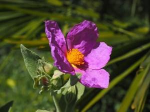 rock_rose-herboristeria