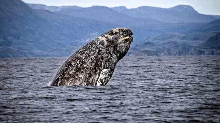 Especialistas preocupados após 4 baleias cinzentas mortas aparecerem na Califórnia.