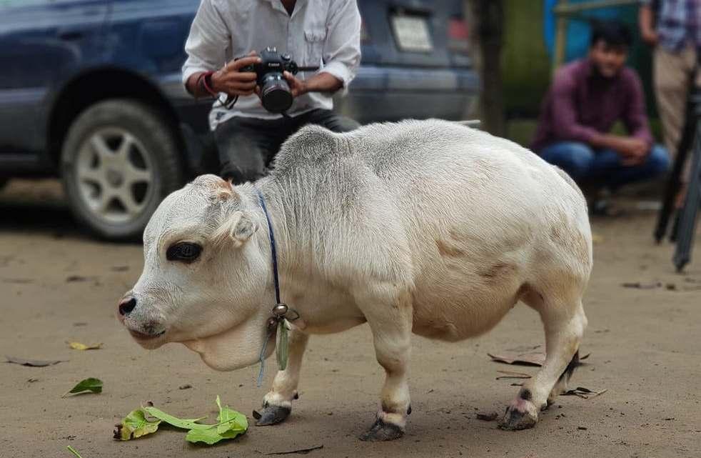 Esta vaca de 50 centímetros de altura pode ser a menor da Terra.