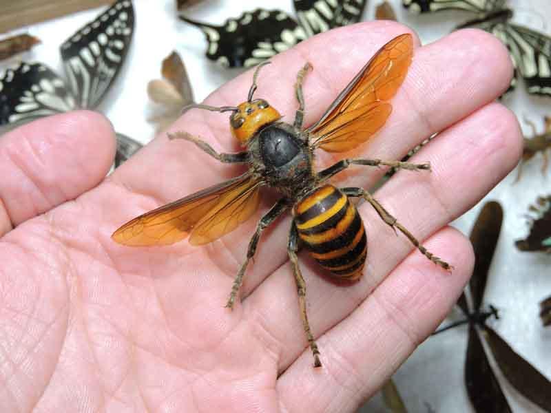 Uma batalha incansável para exterminar vespas assassinas.