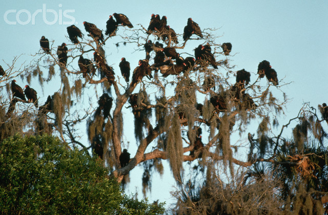 ca. March 1985, Florida, USA --- Flock of Turkey Vultures Roosting in Tree --- Image by © Joe McDonald/Corbis