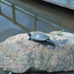 A turtle lounging on a rock in the park