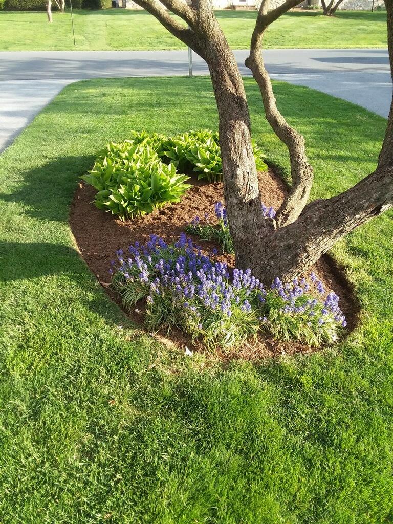 Grape Hyacinths in Lancaster