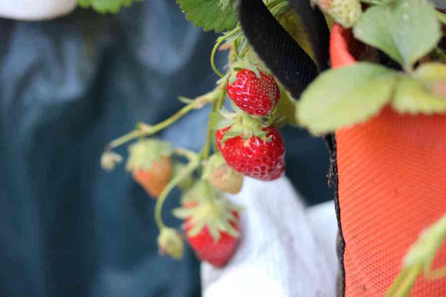 choisir le bon pot : pot en géotextile Bacsac, couleur rouge pour rempoter des fraisiers sur un balcon en automne | Échoppe Végétale #jardinagefacile #balcon #potagerurbain