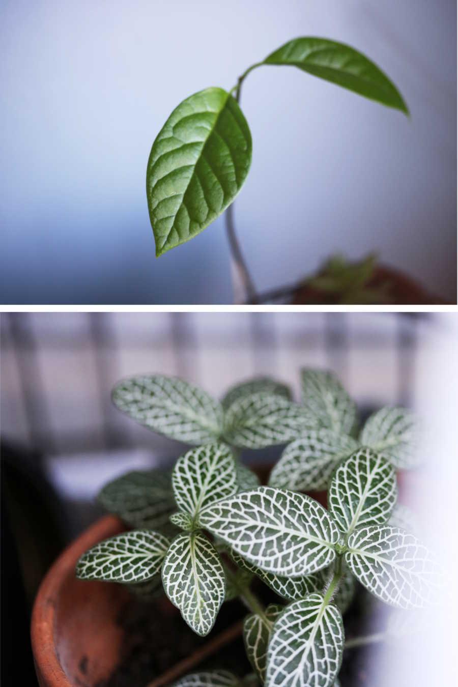 L'échoppe Végétale - Inspirations pour un automne pas monotone | réaliser une jungle urbaine avec des plantes d'intérieur comme le fittonia et le noyau d'avocat