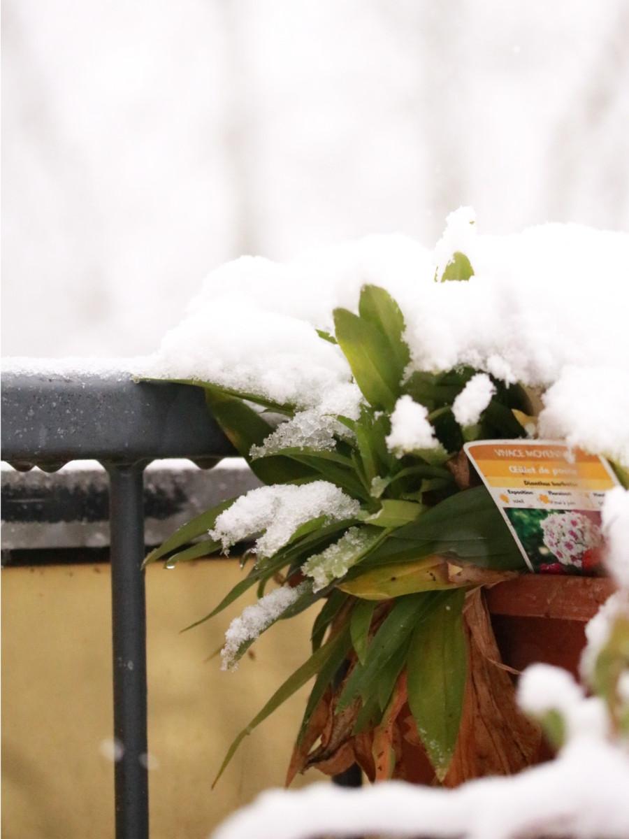 œillet de poète, une fleur comestible qui pousse dans jardinière sur le balcon est recouverte par la neige