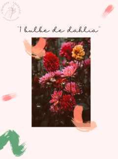coffret cadeau fête des mères écolo : bulbe de dahlia fleurs française