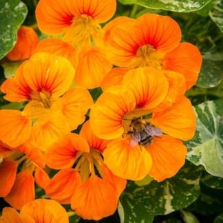 capucine pour abeilles, fleurs comestibles à cultiver sur un balcon, un pot ou jardinière